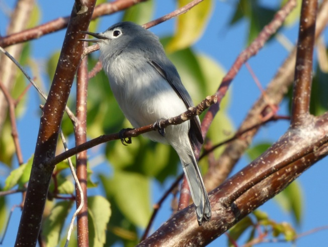 Blue-gray Gnatcatcher, Abaco 1