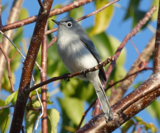 Blue-gray Gnatcatcher, Abaco 2