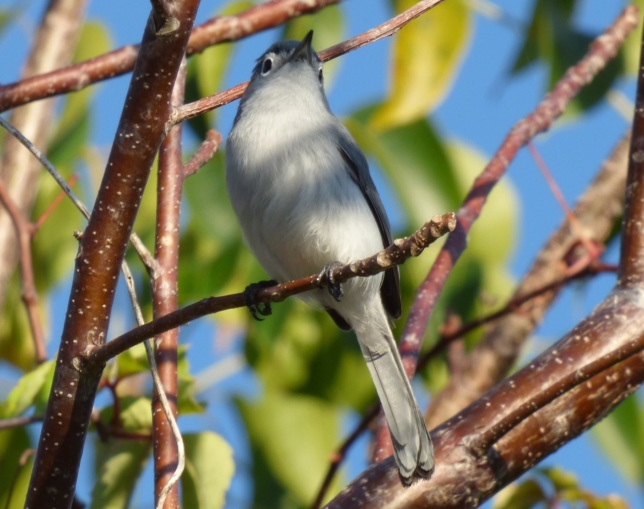 Blue-gray Gnatcatcher, Abaco 3