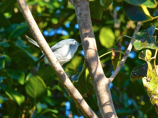 Blue-gray Gnatcatcher, Abaco 4