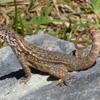CLOSE ENCOUNTERS OF THE… CURLY TAIL LIZARD KIND