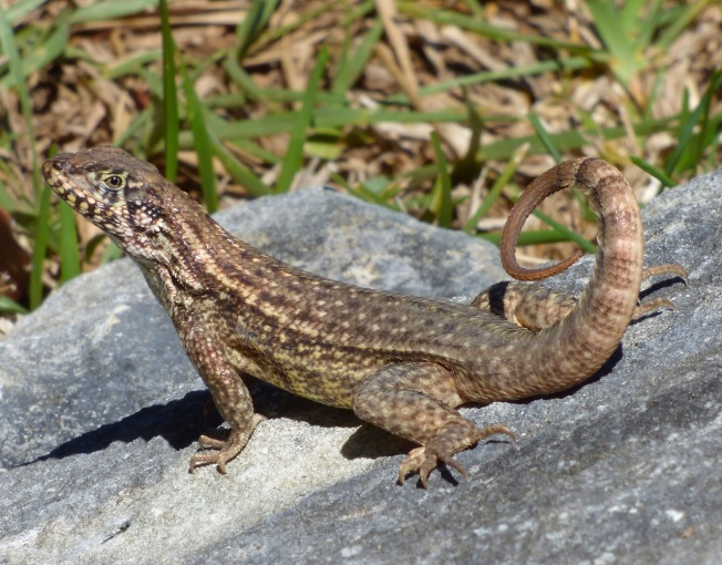 Curly-tail Lizard, Delphi, Abaco