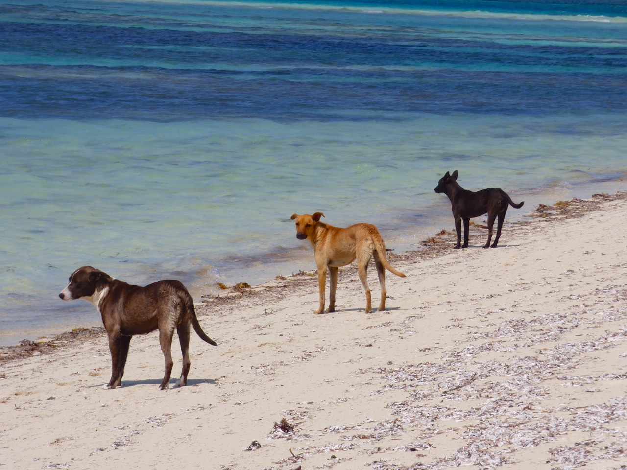 Potcakes at Sandy Point, Abaco 1