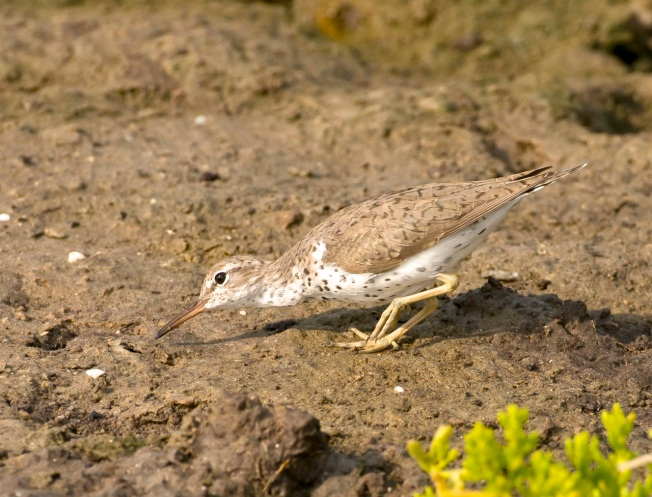 Spotted Sandpiper.Abaco Bahamas.Tom Sheley FV