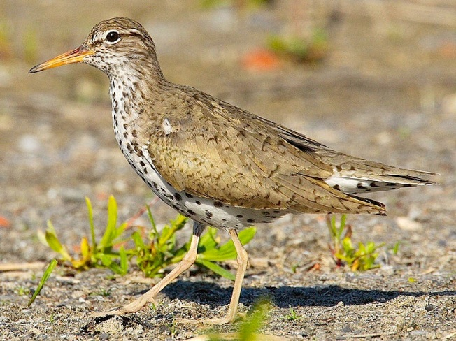 Spotted Sandpiper Actitis macularia Wiki