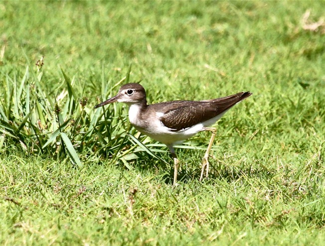 Spotted Sandpiper (imm), Abaco Bruce Hallett