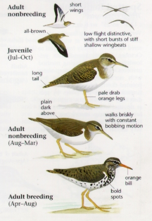 SPSA The Sibley Field Guide to Birds of Western North America - David Allen Sibley