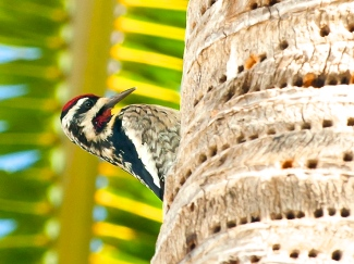 Yellow-bellied Sapsucker. Abaco Bahamas 2.12.Tom Sheley copy 3