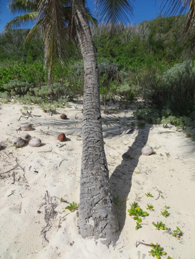 Yellow-bellied Sapsuckers & Coconut Palms 1 RH