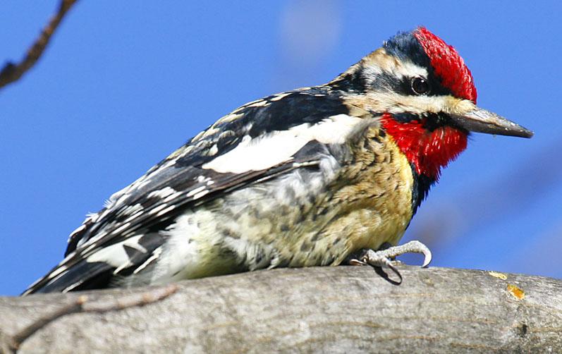 Yellowbelliedsapsucker by John Harrison (Wiki)