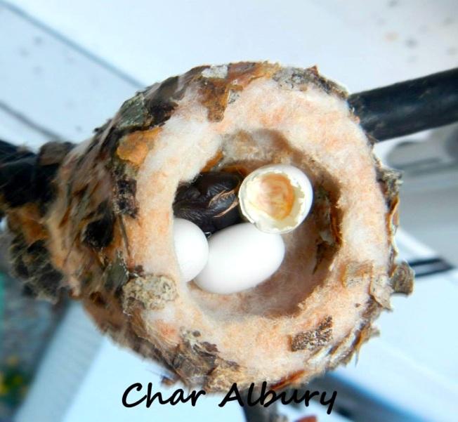 Bahama Woodstar, Man-o-War Cay Abaco (Charmaine Albury)