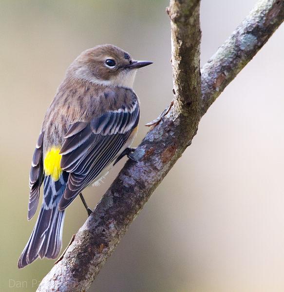 Yellow-rumped_Warbler Dan Pancamo (Wiki)