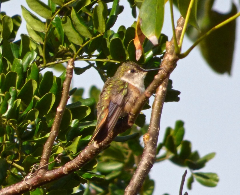 Bahama Woodstar, Delphi Club, Abaco (Keith Salvesen)