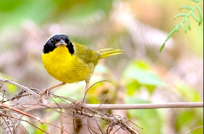 Bahama Yellowthroat on Abaco - Tom Reed