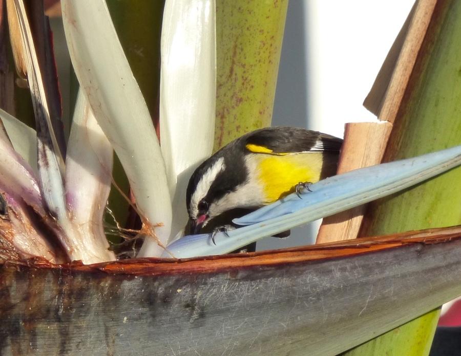 Bananaquit & palm, Delphi, Abaco, Bahamas 2 (Keith Salvesen)
