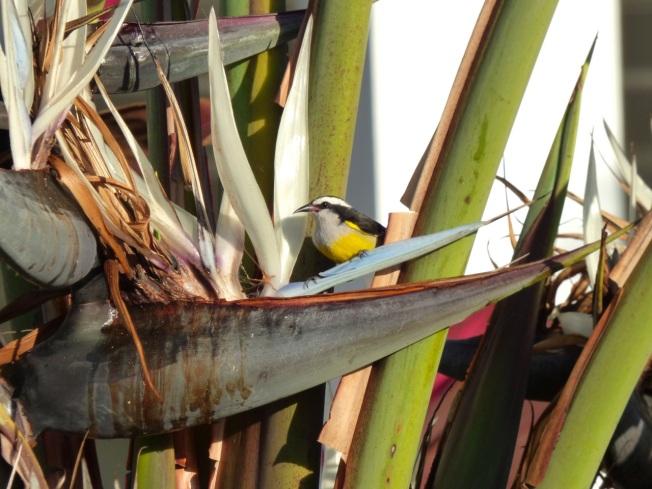 Bananaquit & palm, Delphi, Abaco, Bahamas 3