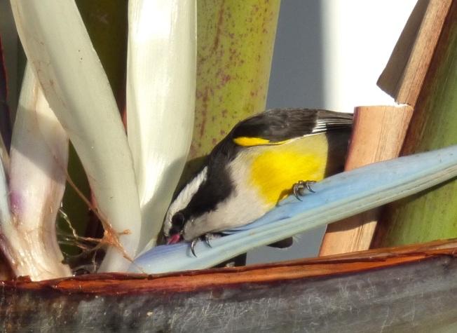 Bananaquit & palm, Delphi, Abaco, Bahamas 5