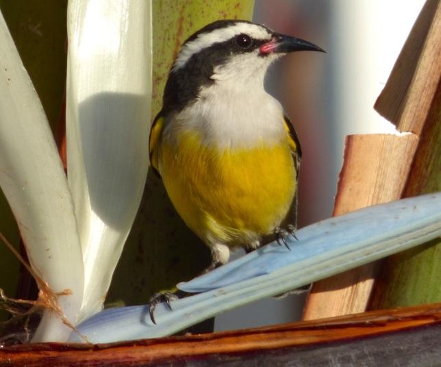 Bananaquit, Abaco, Bahamas - Keith Salvesen