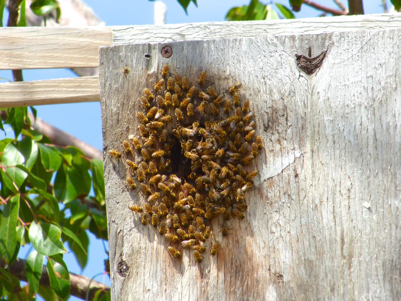 Bees at Delphi Abaco 1