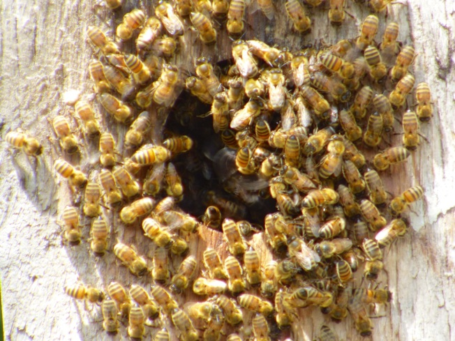 Bees at Delphi Abaco 2