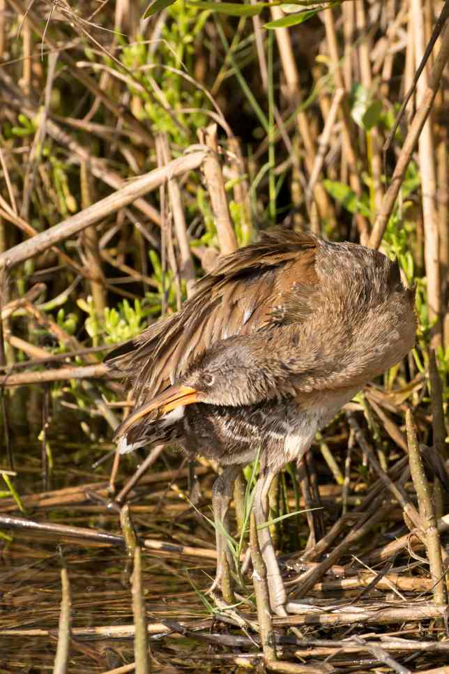 Clapper Rail preening.Abaco Bahamas.3.12.Tom Sheley copy