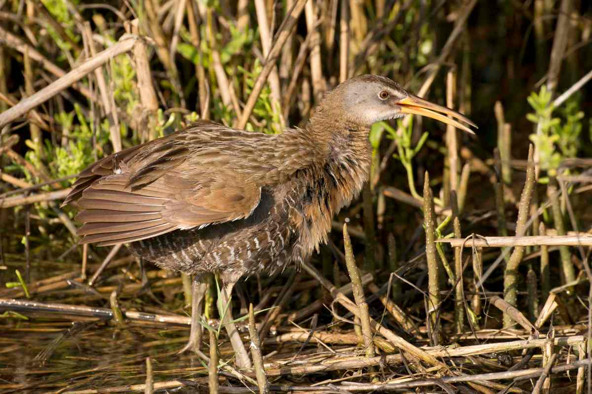 Clapper Rail rousing.Abaco Bahamas.Tom Sheley