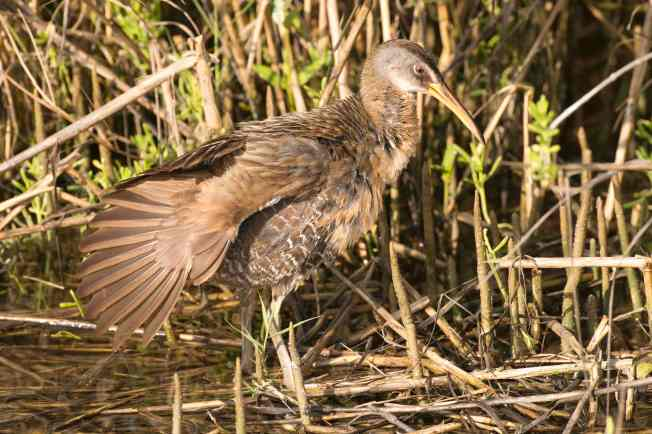 "Clapper Rail stretching.Abaco Bahamas - Tom Sheley (""The Birds of Abaco"" by Keith Salvesen, p80)"