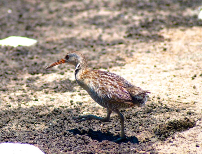 Clapper Rail Sandy Walker 1 - V2