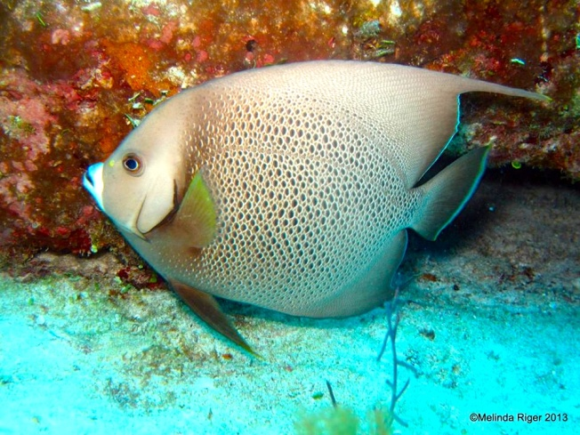 Gray Angelfish a © Melinda Riger @GB Scuba