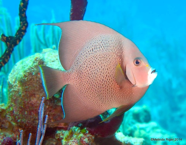 Gray Angelfish d ©Melinda Riger @ GB Scuba
