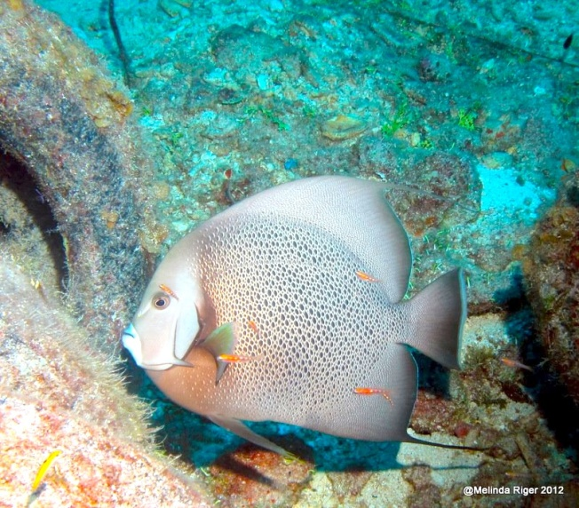 Gray Angelfish e ©Melinda Riger @ Grand Bahama Scuba