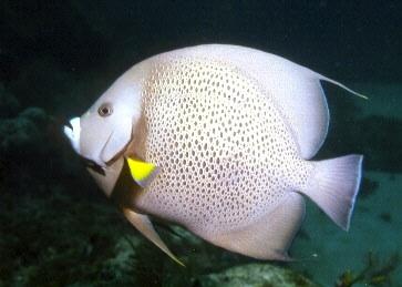Gray Angelfish f