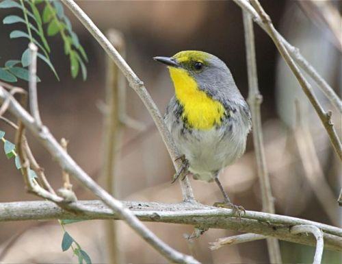 Olive-capped Warbler, Abaco - Bruce Hallett