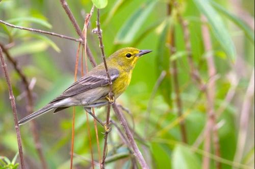 Pine Warbler, Abaco - Tom Reed