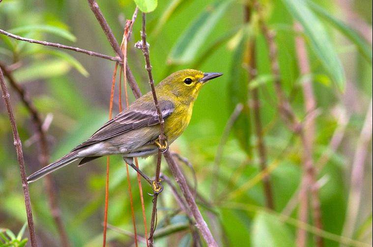 Pine warbler (m) Abaco Bahamas (Tom Reed)