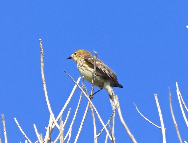 Yellow-rumped Warbler Abaco 1