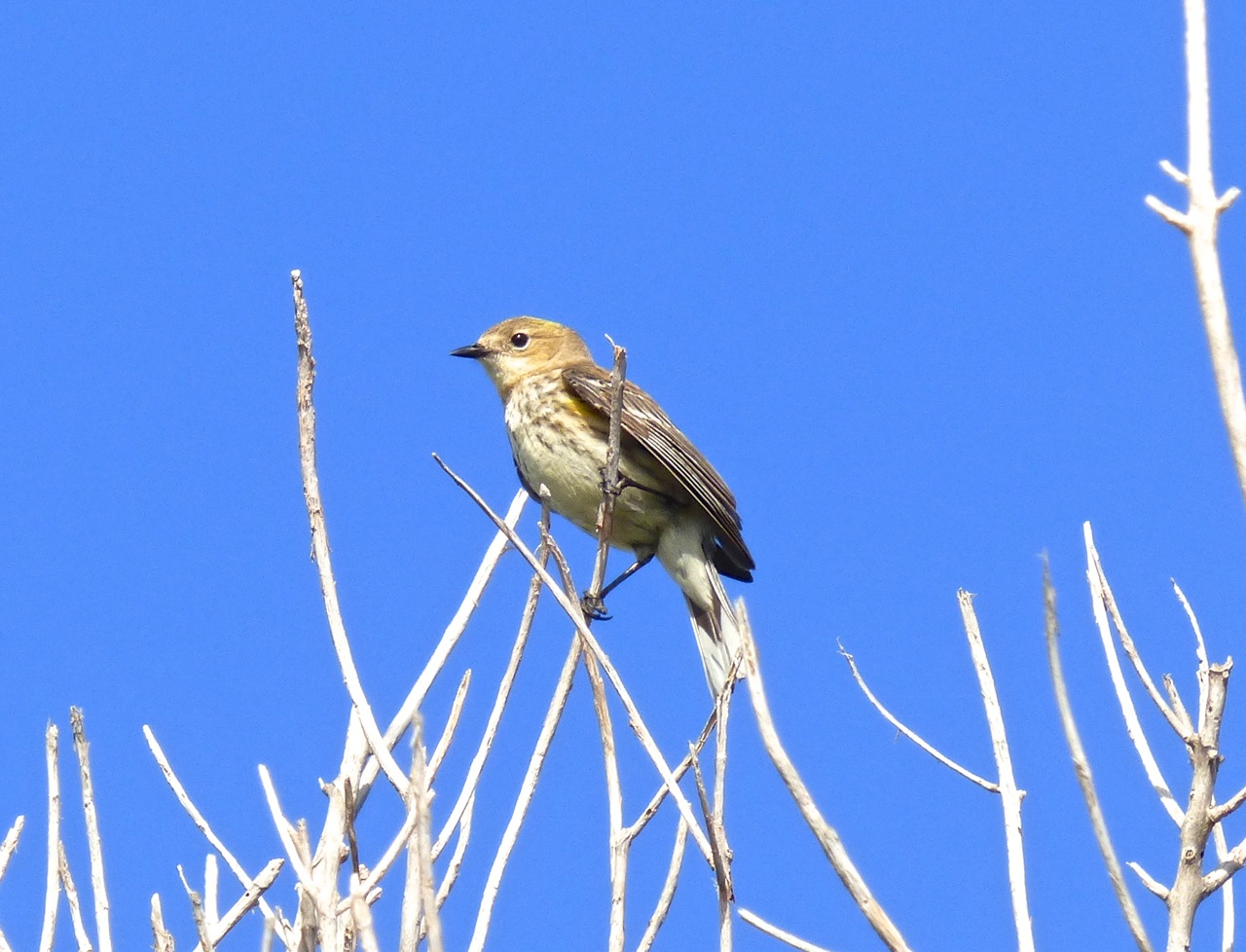 Yellow-rumped Warbler, Abaco 2