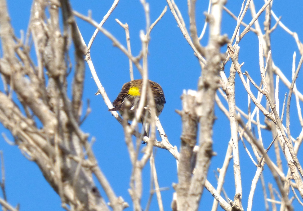 Yellow-rumped Warbler, Abaco 3