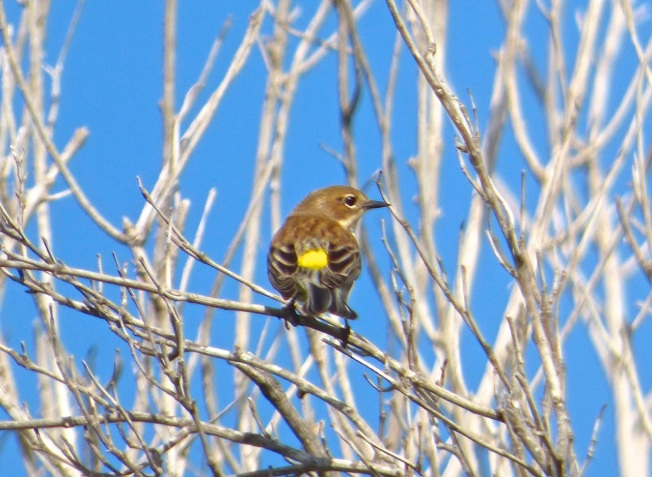Yellow-rumped Warbler, Abaco 4