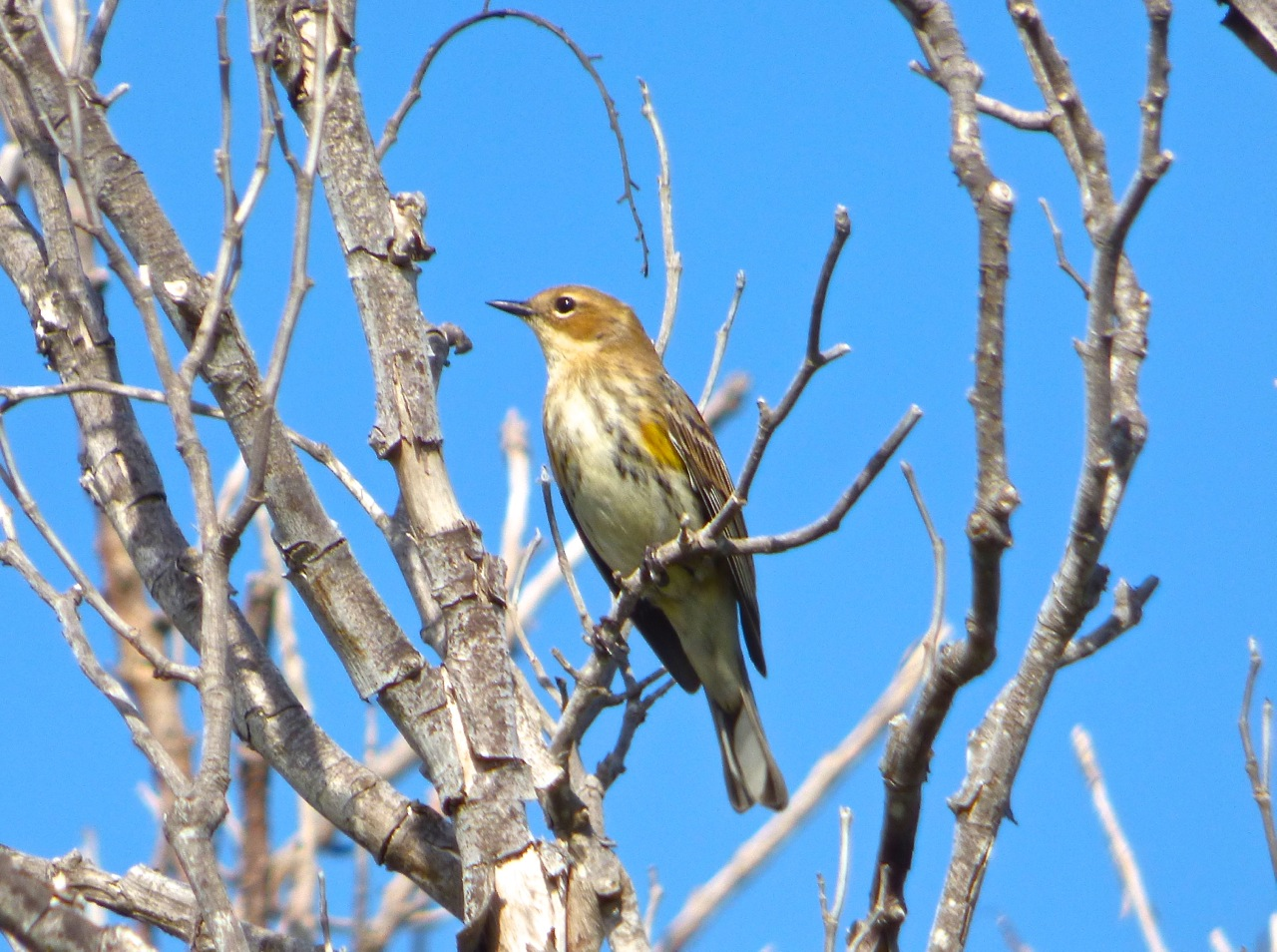 Yellow-rumped Warbler, Abaco 5