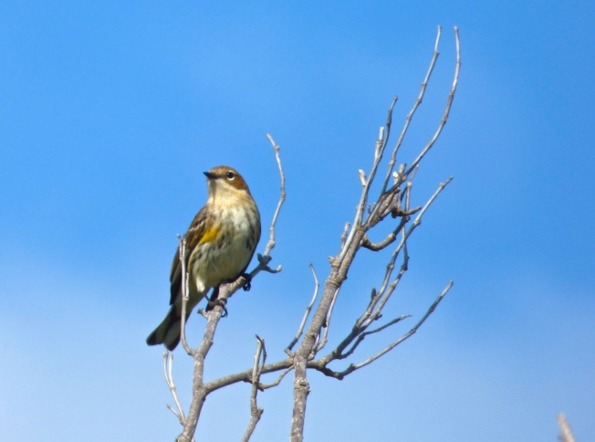 Yellow-rumped Warbler, Abaco 6
