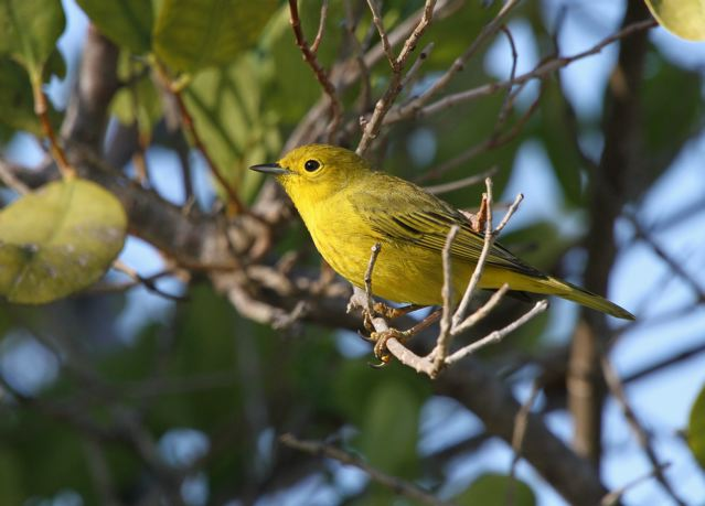 Yellow Warbler (f) Abaco