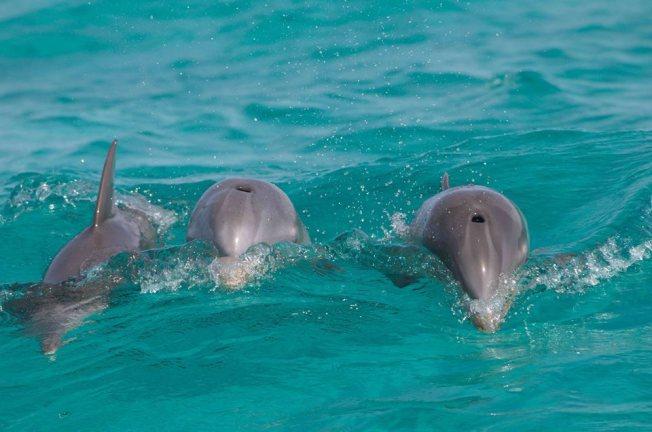 Bottlenose Dolphins - BMMRO, Abaco, Bahamas