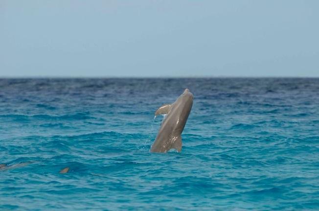 Dolphins, Abaco, Bahamas (BMMRO) - Shane Gross