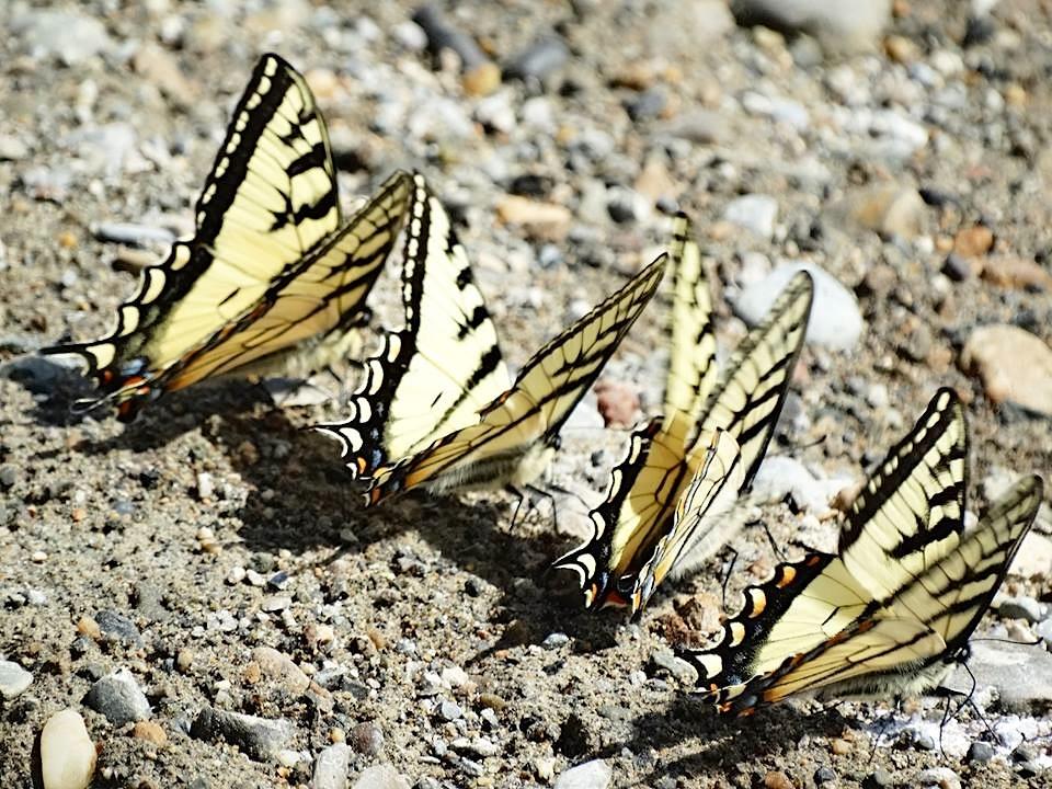Bahamas Swallowtail Butterfly, Abaco (Uli Nowlan)
