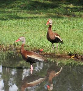 Black-bellied Whistling Ducks, Abaco - Liann Key Kaighin