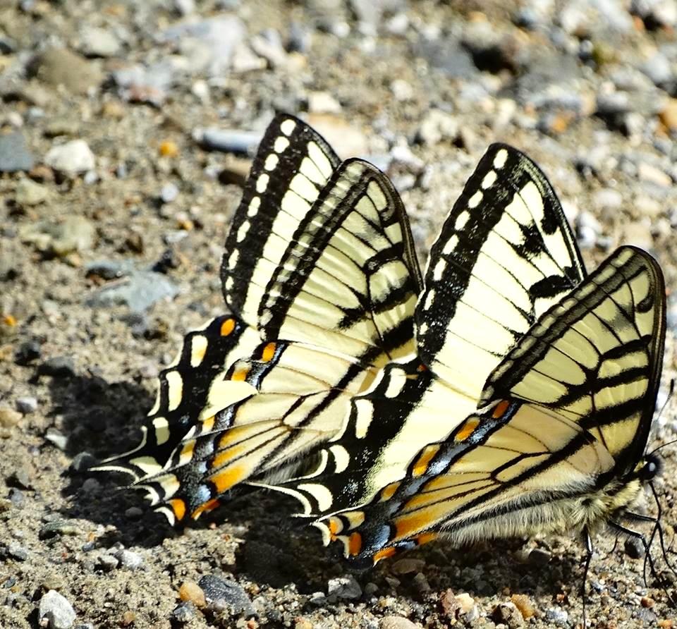 Swallowtail Butterfly, Abaco (Uli Nowlan)