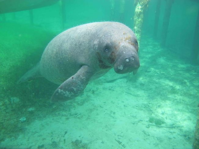 Randy the West Indian Manatee, Sandy Point, Abaco, Bahamas