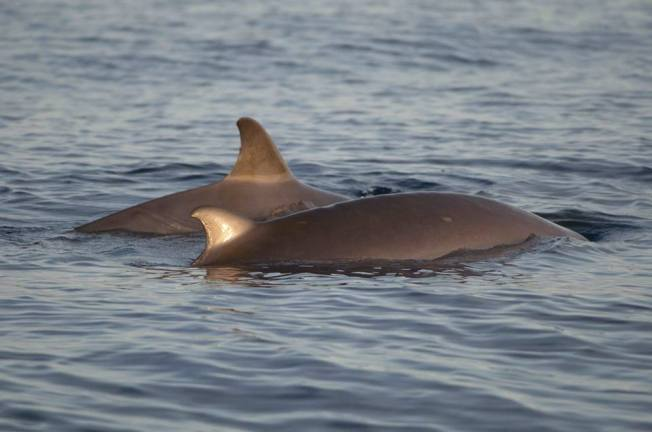 Blainville's Beaked Whales BMMRO Abaco, Bahamas