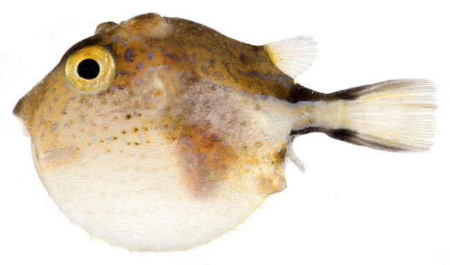 Animal-Fish-Photo-Canthigaster-rostrata-Inflated-Caribbean-Sharp-Nose-Puffer-1000x590